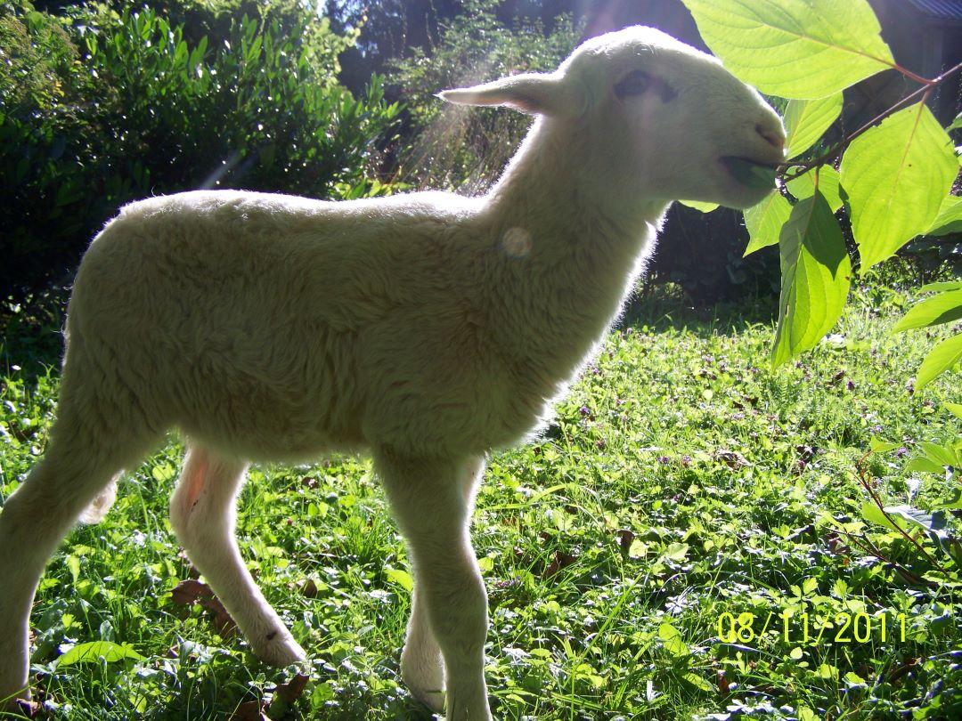 ranč kaja in grom animal ambassador center slovenija ovca 1