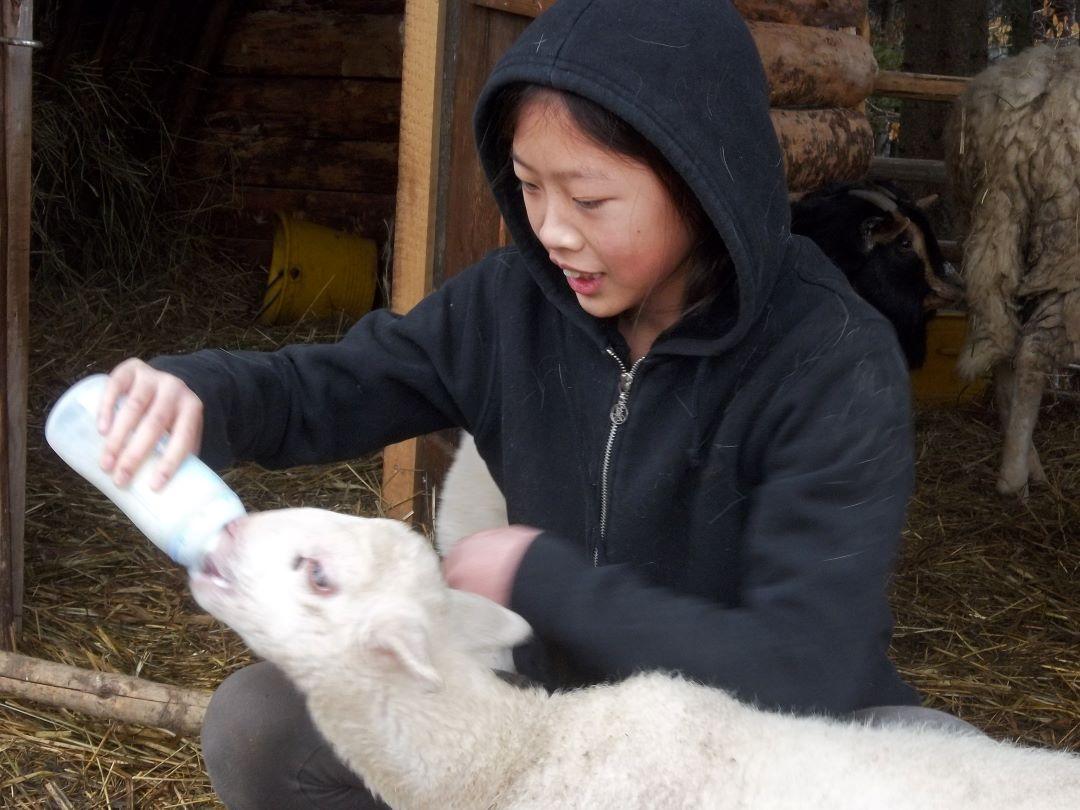 ranč kaja in grom animal ambassador center slovenija ovca 4