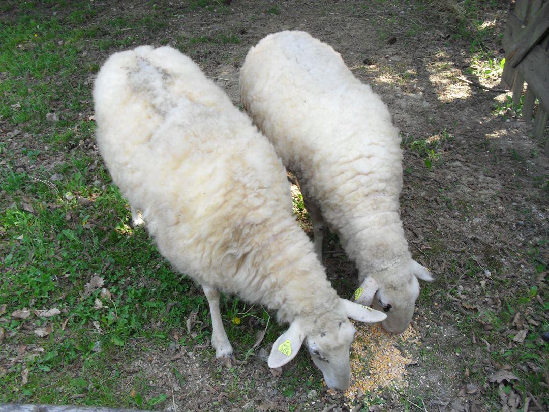 ranč kaja in grom animal ambassador center slovenija ovca 8