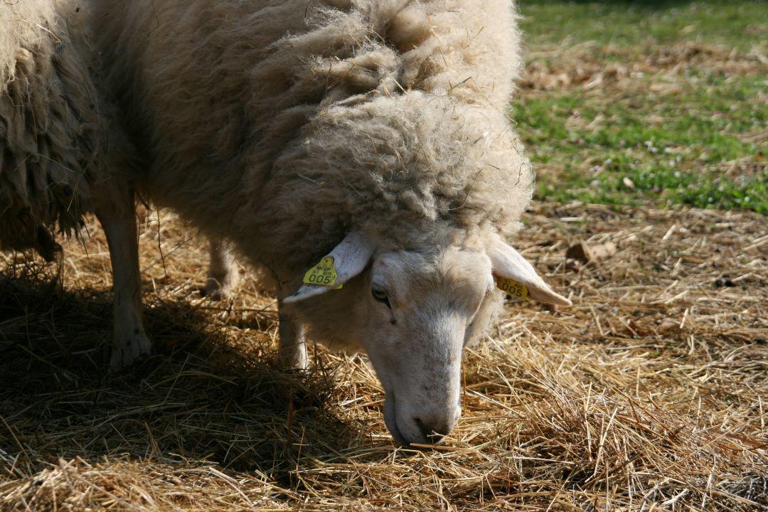 ranč kaja in grom animal ambassador center slovenija ovca 9