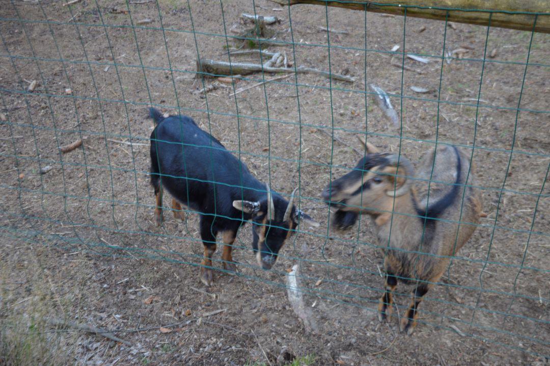 ranč kaja in grom kozica 2